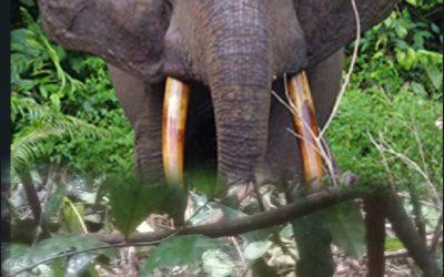 Gabon : un jeune homme tué par un éléphant près de Mandji